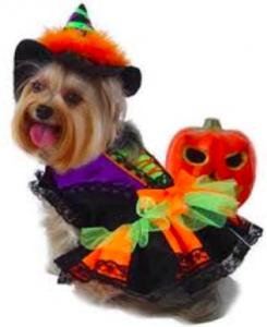 Halloween Yorkie Social Anxiety